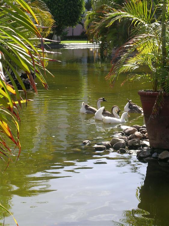 The Melia Puerto Vallarta is home to families of ducks