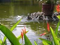 Birds of paradise...and ducks at the Melia Puerto Vallarta Resort